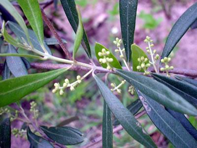 140511_olive